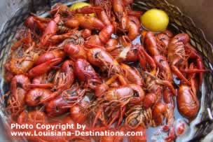 Boiled Louisiana Crawfish from the Atchafalaya Swamp ... it's nearly crawfish season in Louisiana ... can you taste them? click to learn more about Louisiana crawfish