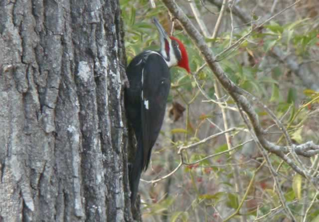 Pileated Woodpecker in Honey Island Swamp in Louisiana