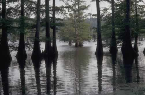 The beauty of a Louisiana cypress swamp