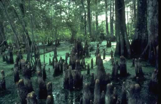 Cypress knees in a Louisiana swamp