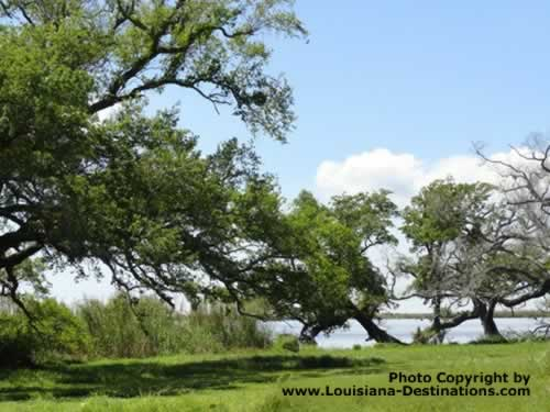 Oak Trees at Pecan Island, Louisiana