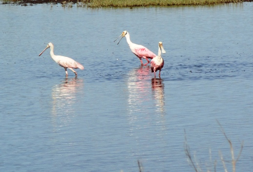 Roseate Spoonbills on the Louisiana Gulf Coast near Pecan Island