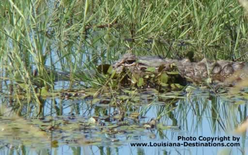 Alligator hidden in swamp grass in south Louisiana