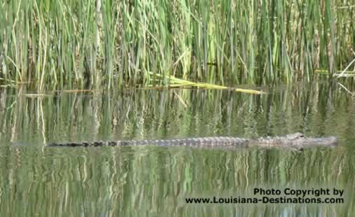 Alligator swimming in canal near Pierre Part, Louisiana