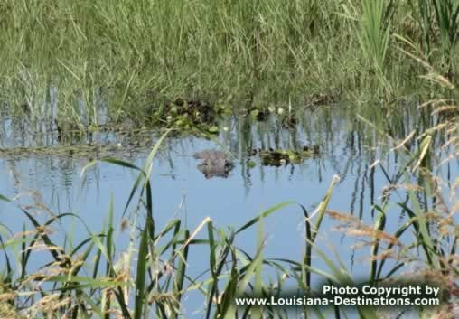 Can you spot the alligator in this photo?