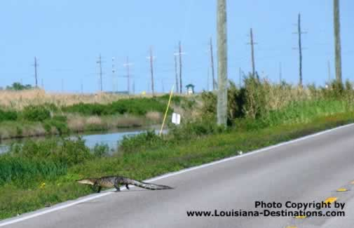 Louisiana alligator crossing the road at Sabine National Wildlife Refuge near Holly Beach Louisiana