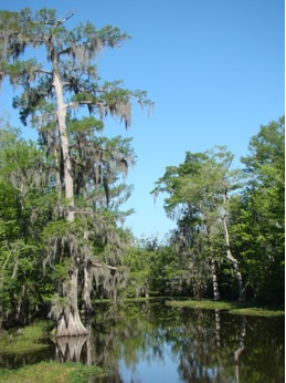 Louisiana cypress tree in the swamp