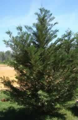 Louisiana Leyland Cypress