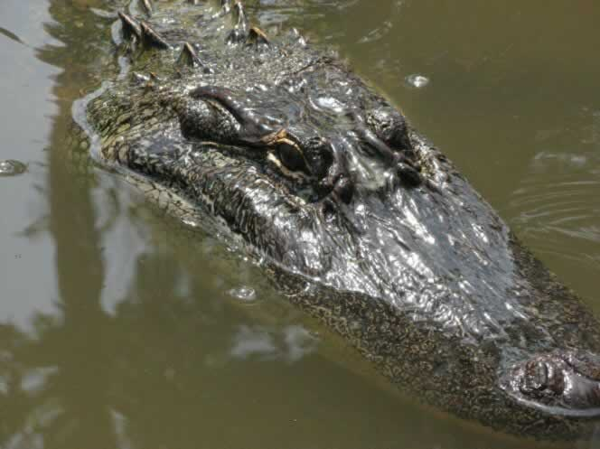 The Louisiana Alligator ... seen on a swamp tour at Honey Islan