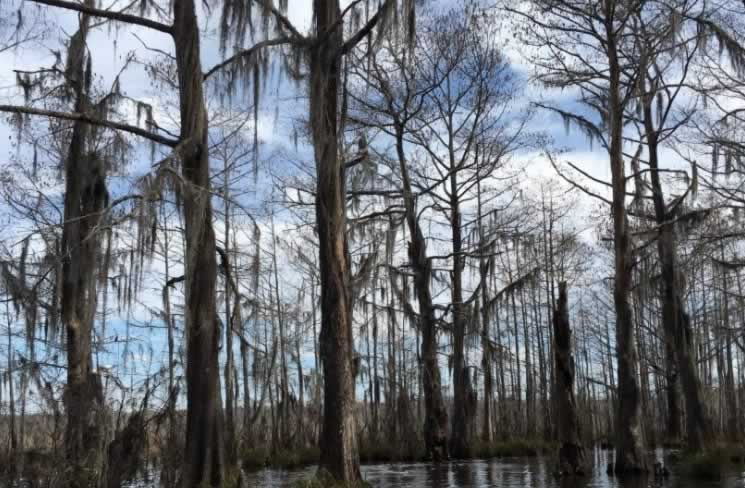 Cypress trees in the Honey Island swamp in Louisiana